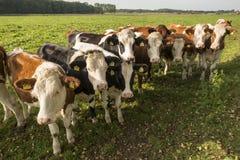 Neugierige niederländische Kühe in einer Weide nahe Winterswijk Lizenzfreie Stockfotografie