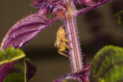 Neugierige orange springende Spinne Lizenzfreie Stockfotos