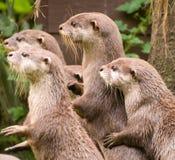 Neugierige Otter Lizenzfreie Stockbilder