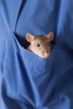 Neugierige Ratte Lizenzfreies Stockfoto