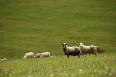 Neugierige Schafe Lizenzfreie Stockfotos