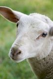 Neugierige Schafe Stockbilder