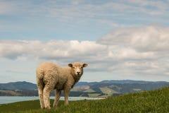 Neugierige Schafe, die zurück schauen Stockfoto