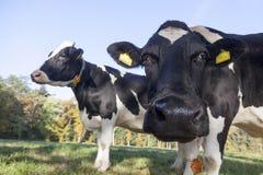 Neugierige Schwarzweiss-Kuh in der Wiese Lizenzfreies Stockfoto