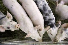 Neugierige Schweine Lizenzfreie Stockfotos