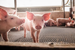 Neugierige Schweine Lizenzfreie Stockbilder