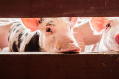 Neugierige Schweine Stockfotografie
