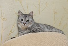 Neugierige spielende Katze, spielende Katze, lustige verrückte Katze, inländische junge Katze, junge spielende Katze im netten na Lizenzfreie Stockfotografie
