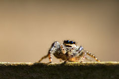 Neugierige springende Spinne lizenzfreie stockfotos