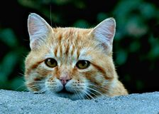Neugierige Tabby Cat betrachtet vorsichtig über Wand der Kamera lizenzfreies stockbild