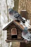 Neugierige Tauben Stockfoto