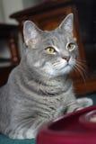 Neugierige u. fokussierte junge Katze. Lizenzfreies Stockfoto
