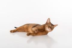 Neugierige und verärgerte abyssinische Katze, die aus den Grund liegt Getrennt auf weißem Hintergrund Stockfotos