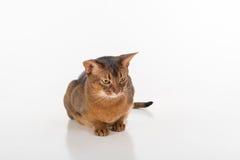 Neugierige und verärgerte abyssinische Katze, die aus den Grund sitzt Getrennt auf weißem Hintergrund Lizenzfreies Stockfoto