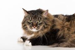 Neugierige und verärgerte dunkle Cat Lying auf der weißen Tabelle Porträt Weißer Hintergrund Gerade schauen Stockfotografie