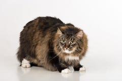 Neugierige und verärgerte dunkle Cat Standing auf der weißen Tabelle Weißer Hintergrund Lizenzfreie Stockfotografie