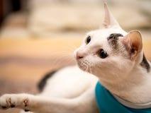 Neugierige weiße Katze in den Blau-Hemd-Spielen auf dem Bett Stockfotografie