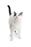 Neugierige weiße Cat Standing Looking Up Stockfoto