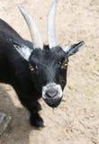 Neugierige Ziege stockfoto