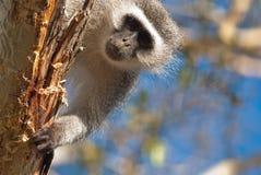 Neugieriger Affe Stockbilder