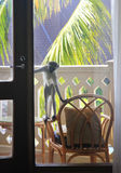 Neugieriger Affe auf dem Balkon des Hotels Stockfotos