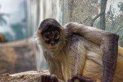 Neugieriger Affe, der die Kamera betrachtet Stockbild