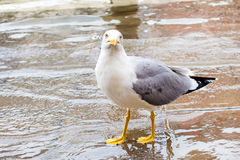 Neugieriger Albatros, der im Wasser-, Anstarren und Warten Lebensmittel steht Stockfoto