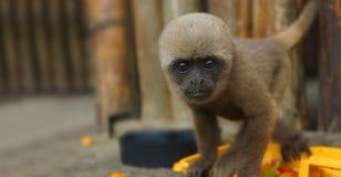 Neugieriger Baby Chorongo-Affe, der entlang des Kameraobjektivs anstarrt Stockbild