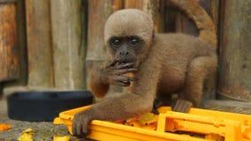 Neugieriger Baby Chorongo-Affe, der Frucht im EL Coca Zoo anstarrt entlang des Kameraobjektivs isst Stockfoto