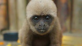 Neugieriger Baby Chorongo-Affe sehr, der nah die Kamera zur Linse betrachtet Lizenzfreie Stockfotografie