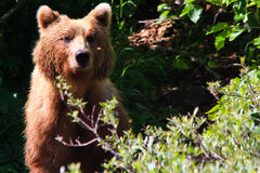 Neugieriger Brown Grizzlybär Alaskas Stockbild