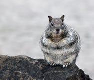 Neugieriger Chubby Gray Squirrel Lizenzfreie Stockfotos
