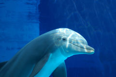 Neugieriger Delphin Stockfoto