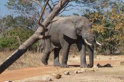 Neugieriger Elefant Stockfoto