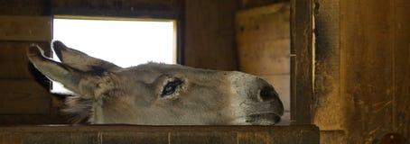 Neugieriger Esel Stockbilder