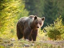 Neugieriger eurasischer Braunbär - Ursusschauspielerschauspieler - Slowakei Lizenzfreie Stockbilder