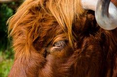 Neugieriger flüchtiger Blick des Viehs eines Hochlands Lizenzfreies Stockfoto