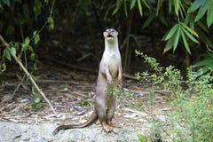 Neugieriger Fluss-Otter stockbilder