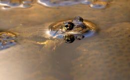 Neugieriger Frosch, der heraus schaut   Lizenzfreie Stockfotografie