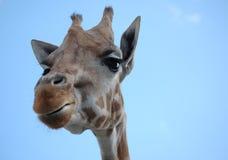 Neugieriger Giraffe-Kopf Lizenzfreie Stockfotos
