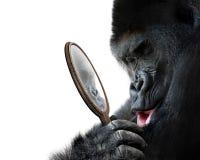Neugieriger Gorilla, der seine hübsche Selbstreflexion im Spiegel betrachtet und liebevoll lächelt Stockfoto