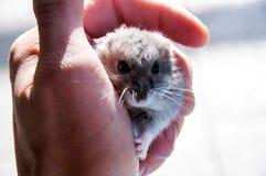 Neugieriger Hamster Stockbilder