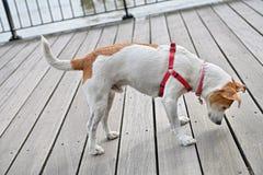 Neugieriger Hund, der durch Sprünge von Decking späht Stockfoto