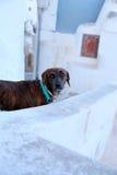 Neugieriger Hund in Santorini gehend in die Altbauten stockfoto