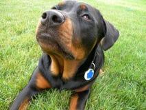Neugieriger Hundeabschluß oben Lizenzfreie Stockbilder