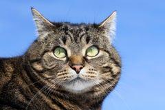 Neugieriger interessierter Blick einer Katze Stockbild