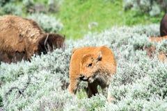 Neugieriger junger Bison Lizenzfreie Stockfotografie