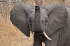 Neugieriger junger Elefant Stockfotografie