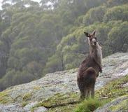 Neugieriger Känguru im Busch Lizenzfreie Stockfotografie