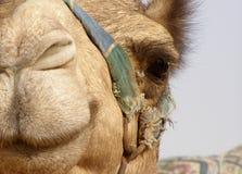 Neugieriger Kamel-Kopf Stockfotos